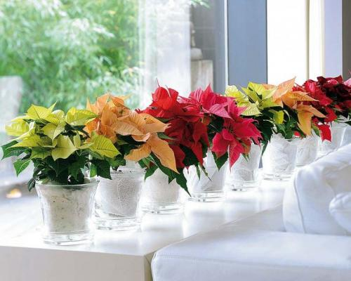 Пуансетия: как ухаживать и размножать комнатный цветок?