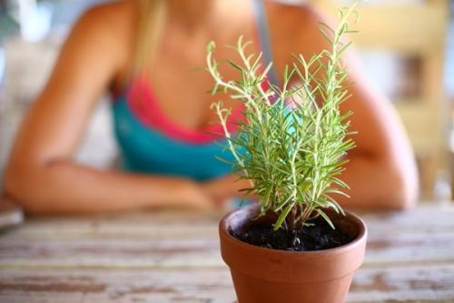 Розмарин: выращивание дома и в саду