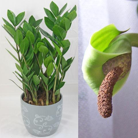Комнатное растение замиокулькас: как цветет, посадка и уход за ним