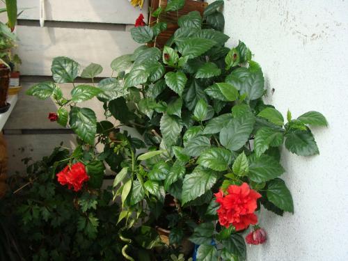 Комнатный цветок гибискус виды 27
