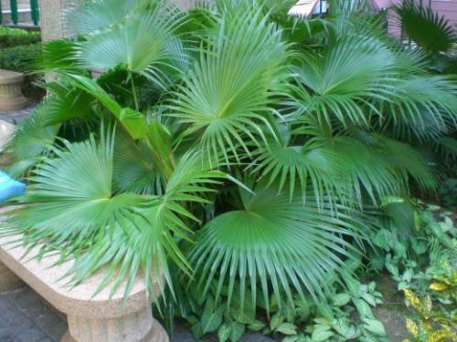 Многообразные виды пальм комнатных