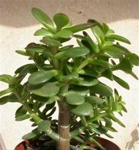 Денежное дерево денежное дерево