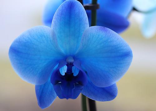 Синяя орхидея украсит любой