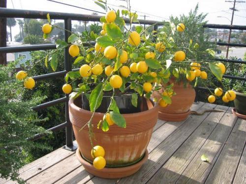 Как сажать лимоны в домашних условиях 199