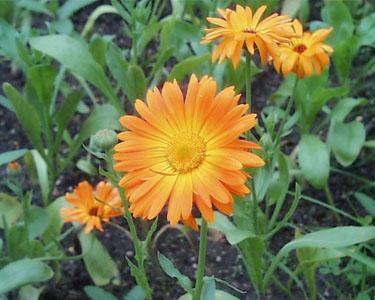 Цветок календулы и уход за ним