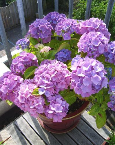 Как правильно посадить и вырастить гортензию в саду или на даче 81