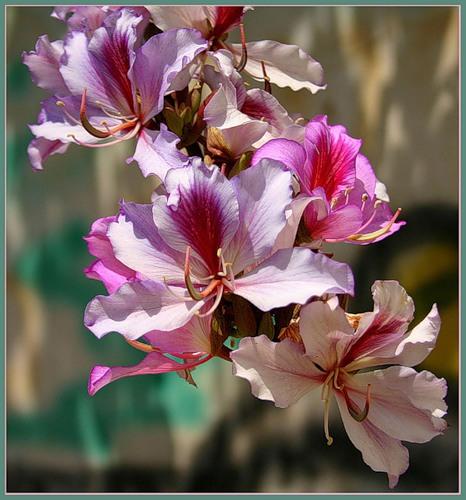 Цветок-бабочка баухиния: http://cvetochki.net/scope/tsvetok-babochka-baukhiniya.html